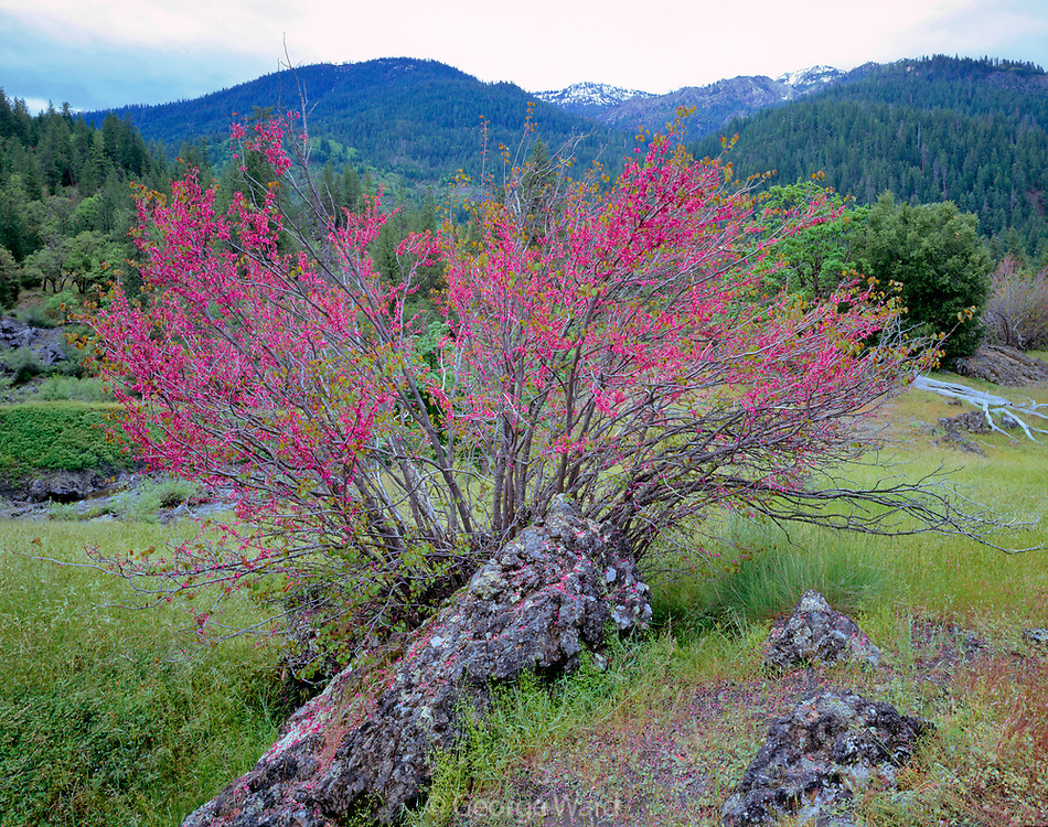 Redbud in Springtime,Yolla Bolly–Middle Eel Wilderness,Mendocino National Forest, California