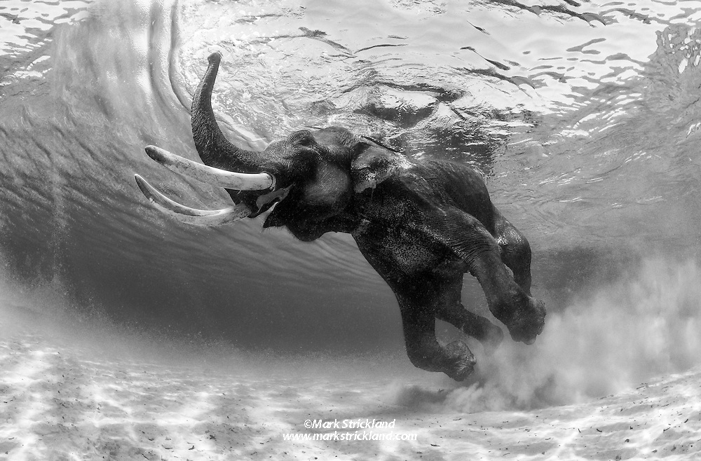 Rajan the Asian Elephant, Elephas maximus, retired from the logging industry, cavorts in shallow water at Radhanagar Beach, a.k.a. Beach Number 7, Havelock Island, Andaman Islands, Andaman Sea, India, Indian Ocean