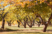 An orchard in Capitol Reef National Park, Utah, United States of America