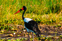 Saddle-billed stork, near Kwara Camp, Okavango Delta, Botswana.
