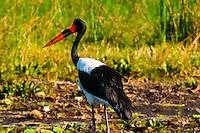 Saddle-billed stork, near Kwara Camp, Okavango Delta, Botswana.