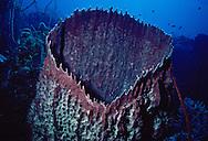 Basket or Tub Sponge (Xestospongia muta). Florida Keys