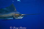 Atlantic sailfish, <br /> Istiophorus albicans (c-r), La Guaira Bank,<br /> Venezuela, South America ( Caribbean Sea )