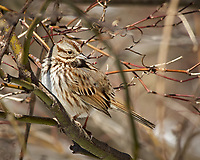 Song Sparrow. Image taken with a Nikon D2xs camera and 80-400 mm VR lens (ISO 400, 400 mm, f/10, 1/500 sec).