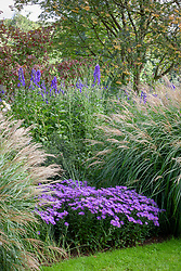 Autumn border at Pettifers with Aconitum carmichaelii Arendsii Group 'Arendsii' AGM, Miscanthus sinensis 'Yakushima Dwarf' and Aster amellus 'Sonora' with Euonymus planipes - flat-stalked spindle tree - and Sorbus 'Joseph Rock' in the background