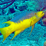 Spanish Hogfish constantly swim about reefs and areas of rocky rubble in Tropical West Atlantic; picture taken Grand Turk.