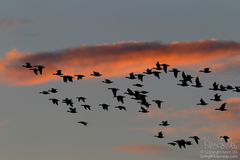 A large flock of snow geese (Chen caerulescens) are rendered in silhouette as they fly over Skagit Bay near La Conner, Washington at sunset.