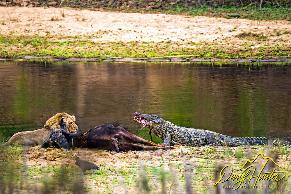 A male lion seem to be sharing a buffalo carcass on the bank of the Sabi River in Kruger National Park with a crocodile.  Sharing? not so much; shortly after the photo was taken, another crock came up, the lion and his unseen brother left the buffalo and then the to crocodiles drug the carcass into the river.