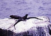 Marine iguanas, Amblyrhynchus cristatus, Espanola or Hood Island, Galapagos Islands, Ecuador, South America 1974