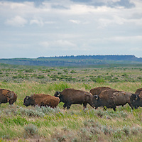 American bison (Bison bison) graze  on the American Prairie Reserve in Phillips County, Montana.