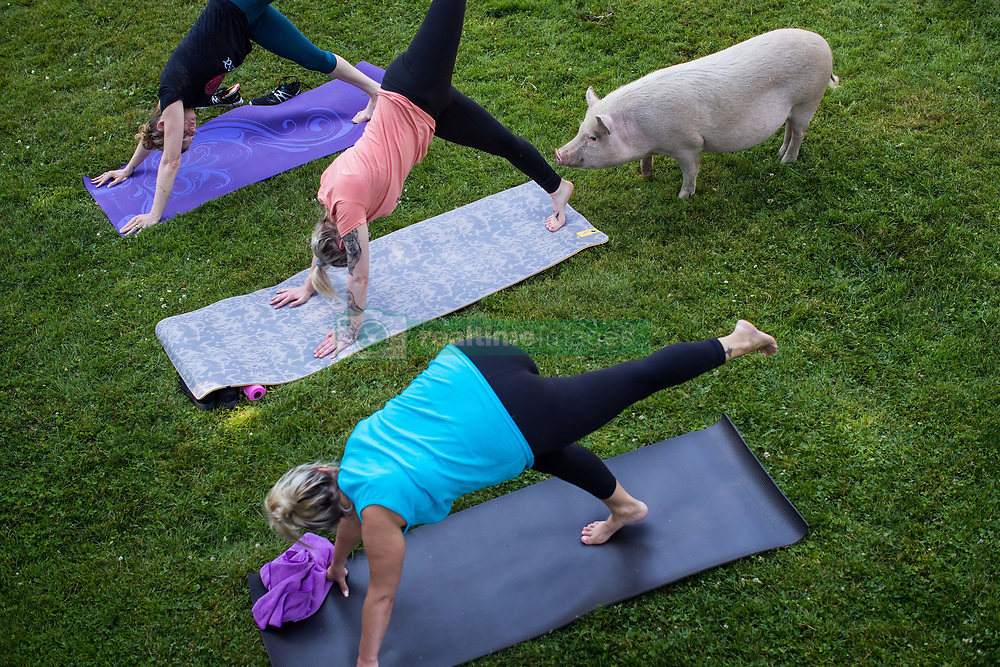 Tania Whelan, from top left, Karilee Ennis and Tammy Ennis participate in a yoga session with pigs during a charity fundraiser at The Happy Herd Farm Sanctuary, in Aldergrove, BC, Canada on Sunday June 24, 2018. The not for profit sanctuary held three yoga classes with four pigs on Sunday to raise money to help cover veterinarian costs. The pigs were born at the sanctuary when one of two neglected pot-bellied pigs seized by the SPCA unexpectedly gave birth to a litter of five after being taken in. Photo by Darryl Dyck/CP/ABACAPRESS.COM