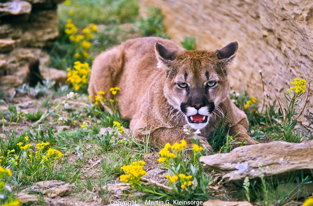Mountain Lion, (Felis concolor).  Found in all forested ecosystems but prefers rocky canyons and foothills.