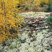 Boreal forest with ground cover of Reindeer Moss. Fall. Manitoba. Canada.