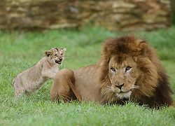 One of the four cubs born at Blair Drummond Safari park near Stirling with dad Zulu as they make their way out into their enclosure which they have been getting used to ahead of their public debut this week.