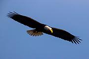 A bald eagle (Haliaeetus leucocephalus) turns its head to look for fish as it soars over Hood Canal near Seabeck, Washington.