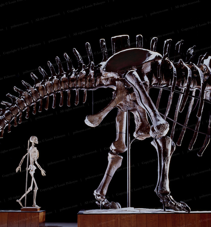 This forty-ton vegetarian, Apatosaurus louisae, at the Carnegie Museum of Natural History and named after Andrew Carnegie's wife, is over seventy-seven feet (23 meters) long and is the longest mounted dinosaur in the world.