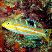 Puddingwife swim in open water just above and around reefs in Tropical West Atlantic; picture taken Tobago.