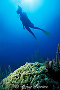 diver swims over coral reef overgrown with algae,<br /> Berry Islands, Bahamas ( Western Atlantic Ocean )<br /> MR 115
