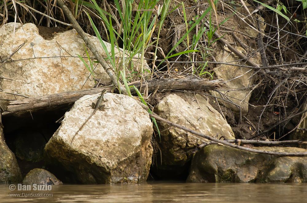 Juvenile Common Basilisk, Basiliscus basiliscus, on the shore of the Tarcoles River, Costa Rica