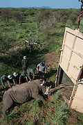 White Rhinoceros (Ceratotherium simum) darted for relocation. Conservation Solutions Vet Andre Uys moving the sedated animal for loading into crate<br /> Private Game Reserve<br /> SOUTH AFRICA<br /> RANGE: Southern & East Africa<br /> ENDANGERED SPECIES