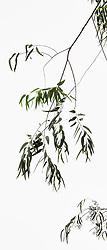 Eucalyptus camaldulensis #1