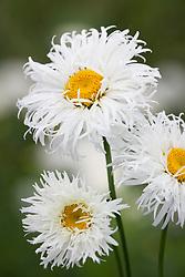 Leucanthemum × superbum 'Shapcott Ruffles'. Shasta daisy