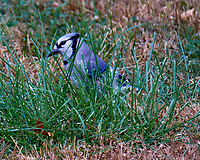 Blue Jay. Image taken with a Fuji X-T1 camera and 100-400 mm OIS lens.