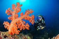 Dendronephthya sp.,Korallenriff, Weichkorallen und Taucher, Soft coral reef and scuba diver, Pemuteran, Bali, Indonesien, Asien, Indopazifik, Indonesia, Indo-Pacific Ocean, Asia