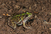 Common river frog (Amietia angolensis)<br /> Marataba, A section of the Marakele National Park, Waterberg Biosphere Reserve<br /> Limpopo Province<br /> SOUTH AFRICA<br /> HABITAT & RANGE: