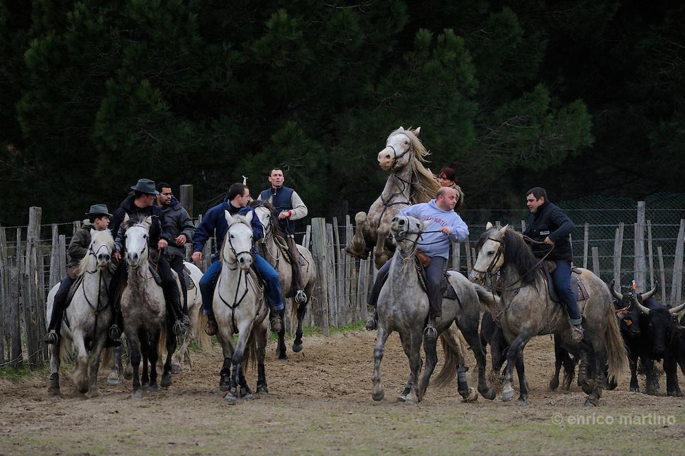 """Camargue, Manade St Louis a Vouvert. Un gruppo di gardians """"volontari"""" addestra i tori per un abrivado, il trasferimento tradizionale dei tori utilizzando i cavalli."""