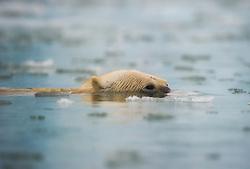 Polar bear (Ursus maritimus) swimming low in the water, Spitsbergen, Svalbard