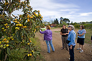 Tiffany Cooper leads a tour group from nearby Santa Barbara of the farm, ripe loquats are available for the picking. The Center for Urban Agriculture at Fairview Gardens is one of the oldest organic farms in California. Located on 12 acres, the 100-year-old farm provides the community with organic fruits and vegetables and through educational programs and public outreach demonstrate the economic viability of sustainable agricultural methods. Goleta, California