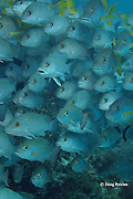 mixed school of snappers, including Lutjanus apodus, Lutjanus griseus, and Lutjanus mahogoni, Hol Chan Marine Reserve, Ambergris Caye, Belize, Central America ( Caribbean Sea )