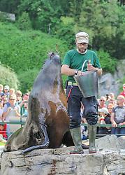 THEMENBILD - Die Mähnenrobbe bei der Fütterung, auch Südamerikanischer Seelöwe, ist eine südamerikanische Art der Ohrenrobben, aufgenommen am 19.05.2019 im Tiergarten Schönbrunn in Wien, Österreich // The mane seal in feeding, also called South American Sea Lion, is a South American species of eared seal, pictured on 2019/05/19 at the Tiergarten Schönbrunn at Vienna, Austria. EXPA Pictures © 2019, PhotoCredit: EXPA/ Lukas Huter
