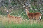 Whitetail deer (Odocoileus virginianus)bucks during summer with antlers in velvet