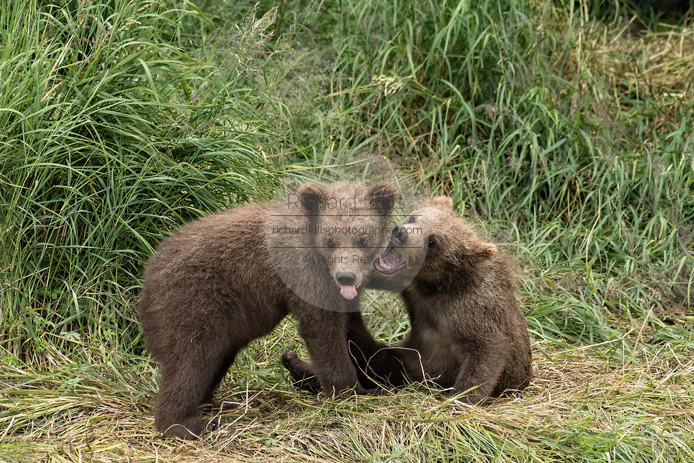 Brown bear spring cubs play together in the grass at the McNeil River State Game Sanctuary on the Kenai Peninsula, Alaska. The remote site is accessed only with a special permit and is the world's largest seasonal population of wild brown bears in their natural environment.