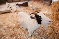 """Annie the goat stands in front of her four newborn kids -- Cowboy, from left, Norma Jean, Maggie and Jeffrey -- Wednesday, Feb. 27, 2013 at the Oakland Zoo in Oakland, Calif. Zookeepers said that the unusual litter, or """"tribe"""" of four goats were the first at the zoo in more than 15 years. (D. Ross Cameron/Staff)"""