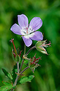 WOOD CRANE'S-BILL Geranium sylvaticum (Geraniaceae) Height to 60cm. Showy, tufted perennial found in damp, upland meadows and open woodlands, usually on base-rich soils. FLOWERS are 2-3cm across and 5 reddish purple (Jun-Aug). FRUITS end in a long 'beak'. LEAVES are deeply divided into 5-7 lobes but appear rather rounded overall. STATUS-Absent from much of S England but locally common elsewhere.