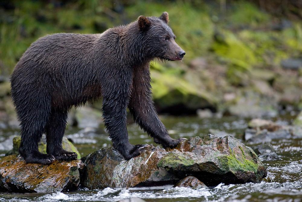 USA, Alaska, Freshwater Bay, Brown (Grizzly) Bear fishing for Sockeye Salmon (Oncorhynchus nerka) in small stream along Pavlof Harbor