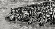 A herd of plains Zebra drink together at a water hole in East Africa.