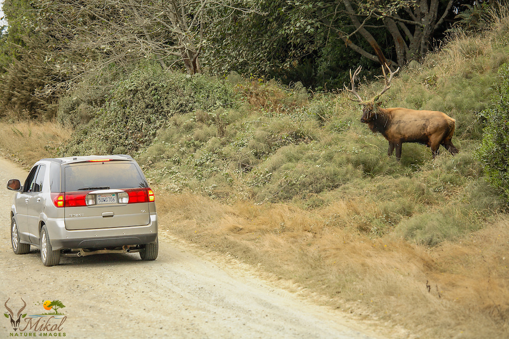 Bull Roosevelt Elk in rut staring down Vehicle