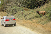 Bull Roosevelt Elk in rut staring down Vehicle