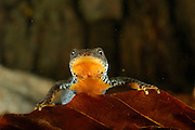 Alpine Newt (Triturus alpestris) female, Kiel, Germany   Beim Bergmolch (Triturus alpestris) weisen beide Geschlechter die einfarbige, leuchtend orange Körperunterseite auf. Dieses Weibchen ruht am Grunde seines Laichgewässers.