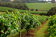 Pinot grape vines, Red Hill Region.Vineyard, Red Hill Region, Mornington Peninsula, Victoria, Australia.<br /> <br /> For larger JPEGs and TIFF Contact EFFECTIVE WORKING IMAGE via our contact page at : www.photography4business.com