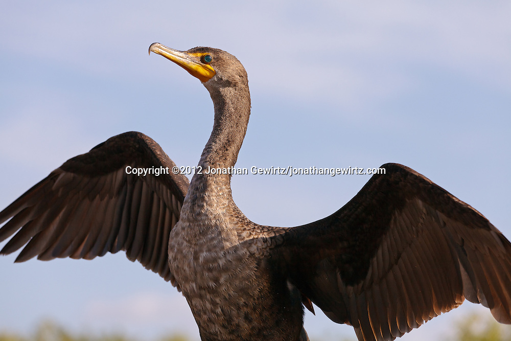 A Double-crested Cormorant (Phalacrocorax auritus) dries its wings after landing on a walkway railing on the Anhinga Trail in Everglades National Park, Florida. WATERMARKS WILL NOT APPEAR ON PRINTS OR LICENSED IMAGES.