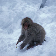 Snow Monkey or Japanese Red-faced Macaque, (Macaca fuscata) Baby playing in snow. Japan.