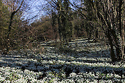 Snowdrops on woodland floor in Oxfordshire, England, United Kingdom