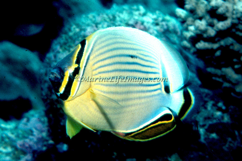 Redfin Butterflyfish inhabit reefs. Picture taken GBR, Australia.