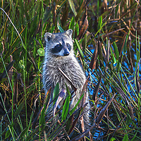 Southeast Florida nature photography from outdoor photographer Juergen Roth showing a baby raccoon at Wakodahatchee Wetlands located west of Boynton Beach in Palm Beach County, FL.  <br /> <br /> Raccons wildlife photography images from the Wakodahatchee Wetlands area are available as museum quality photo prints, canvas prints, wood prints, acrylic prints or metal prints. Fine art prints may be framed and matted to the individual liking and decorating needs:<br /> <br /> https://juergen-roth.pixels.com/featured/baby-raccoon-juergen-roth.html<br /> <br /> All digital nature photo images are available for photography image licensing at www.RothGalleries.com. Please contact me direct with any questions or request.<br /> <br /> Good light and happy photo making!<br /> <br /> My best,<br /> <br /> Juergen<br /> Prints & Licensing: http://www.rothgalleries.com<br /> Instagram: https://www.instagram.com/rothgalleries<br /> Twitter: https://twitter.com/naturefineart<br /> Facebook: https://www.facebook.com/naturefineart