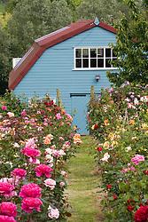 Path through massed roses
